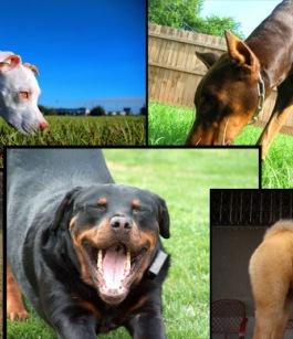 تعرف بالصور على اشرس الكلاب فى العالم