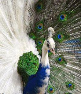 rare Peacock - White Blue Peacock