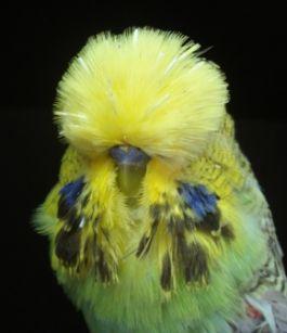 معلومات عن طائر البادجي احد اجمل الطيور فى العالم