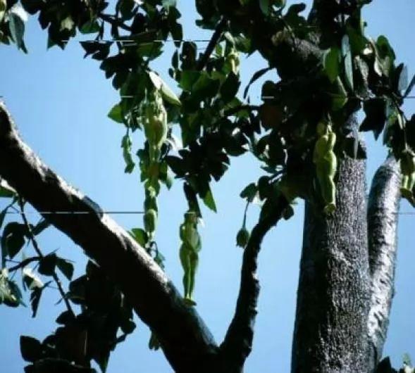 شجرة تطرح ثمار علي شكل بنات
