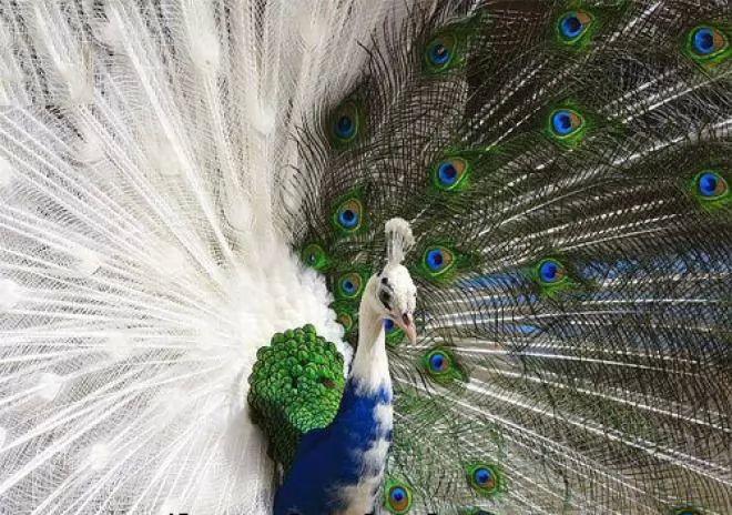 Image result for طائر الطاووس الابيض