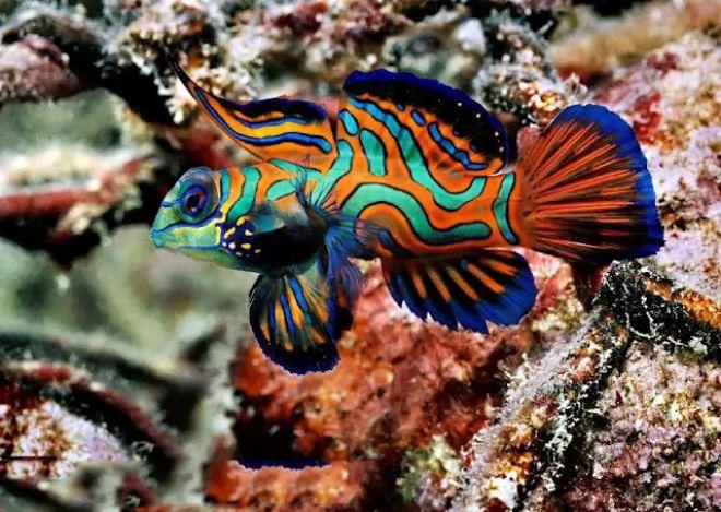 1. Mandarin fish