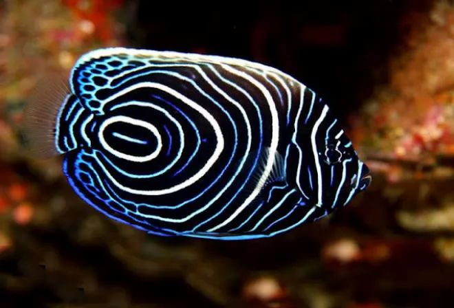 2. Juvenile Emporer Angel Fish
