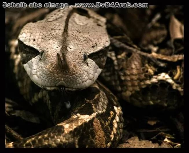 Gaboon Viper - learn about it in pictures | Universe Magic