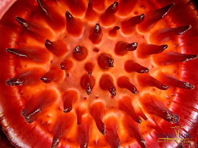 نبات رافليسيا أرنولدي العملاق1