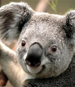 10 Interesting facts about Koala bears