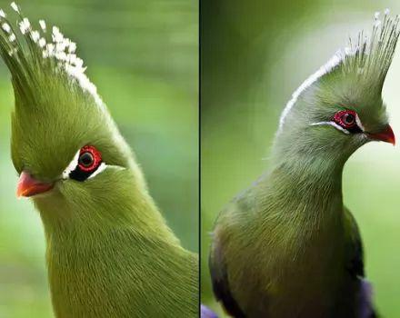 صور - سلسلة اجمل الطيور - طائر التوراكو