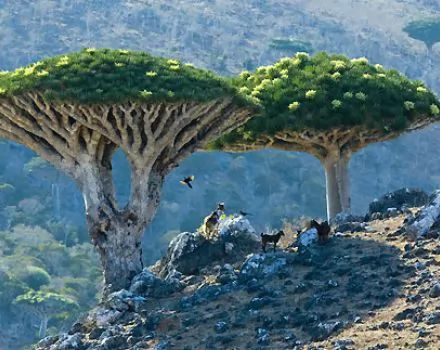 Dragon`s Blood Tree
