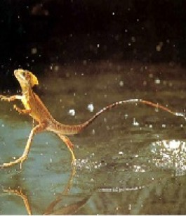 The Common Basilisk Or Jesus Lizards Walking On Water