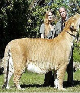Ligers and Tigons : the most popular known hybrid animals