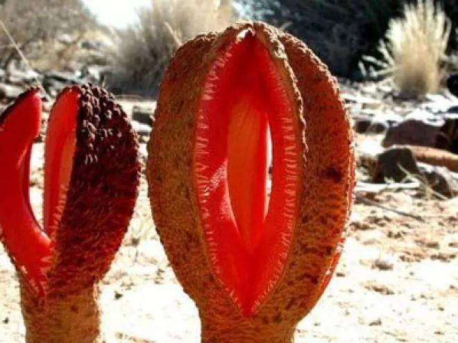 اغرب النباتات فى العال بالصور والفيديو 6265-3-or-1377538903