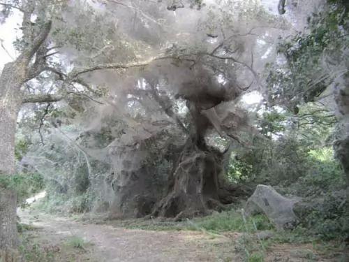 ظاهرة أشجار العنكبوت المدهشة فى باكستان
