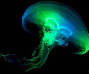 معلومات مثيرة عن قنديل البحر