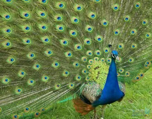 اجمل الطيور على الاطلاق الطــاووس