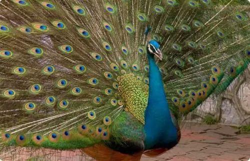 107 2 or 1384283901 اجمل الطيور على الاطلاق الطــاووس