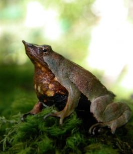 Darwin`s Frogs Croaking due to Deadly Fungus