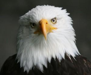 النسر هو اكبر طائر من الجوارح ويعيش