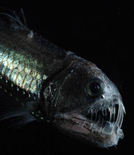 Deep-Sea Lanternfish Eat Tons of Plastic