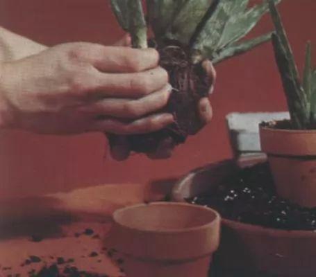 بالصور والفيديو كيفية زراعة نبات الصبار المنزلي والعناية به