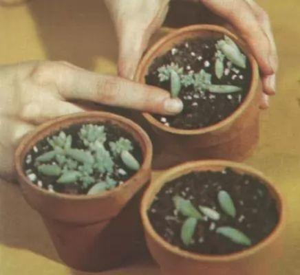 كيفية زراعة نبات الصبار المنزلي والعناية بالصور والفيديو 169-2-or-1384199174