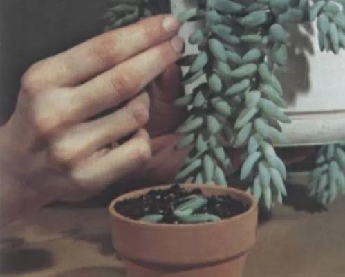 كيفية زراعة نبات الصبار المنزلي والعناية بالصور والفيديو 169-3-or-1384199175