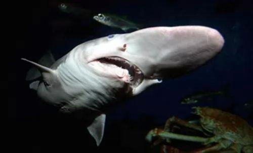 بالصور : عشر انواع غريبة من سمك القرش