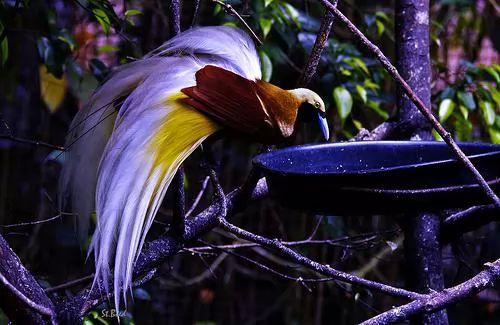 معلومات عن طيور الجنة احد اجمل الطيور 60-1-or-1385059325