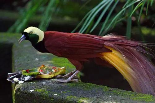 معلومات عن طيور الجنة احد اجمل الطيور 60-2-or-1385059326