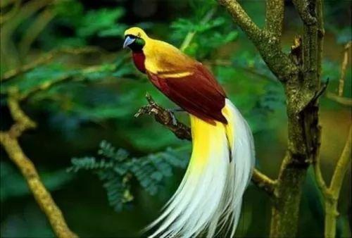 معلومات عن طيور الجنة احد اجمل الطيور 60-3-or-1385059327