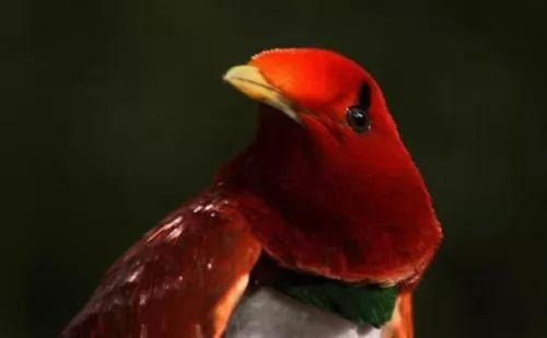 معلومات عن طيور الجنة احد اجمل الطيور 60-4-or-1385059328