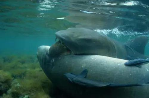 صور - تعرف بالفيديو و الصور كيف يولد سمك القرش