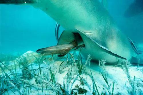 تعرف بالفيديو و الصور كيف يولد سمك القرش