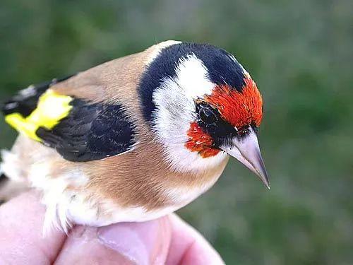 صور - معلومات عن طائر الحسون الصغير احد اجمل الطيور فى العالم