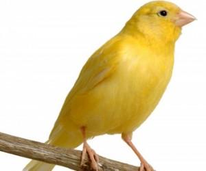 طريقة  تربية طيور الكناري احد اجمل الطيور
