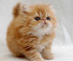 أشهر أنواع القطط بالصور