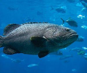 معلومات عن سمك الهامور بالصور والفيديو