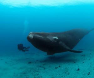 معلومات عن الحوت الأزرق بالصور والفيديو
