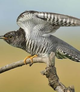 How Birds work to Defeat Cuckoos