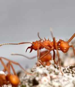 Ants keep Clean by spurting Antimicrobials from Their Butts
