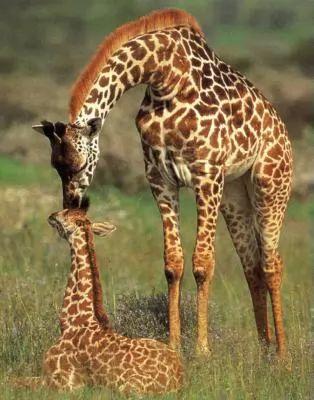 حنان الزرافة مع اولادها