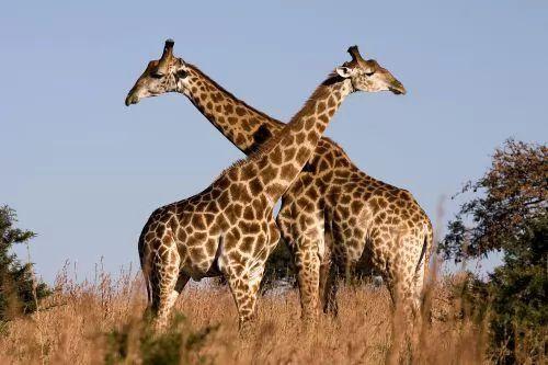 21 6 or 1385929163 أجمل صور الزرافة    Photo Giraffes