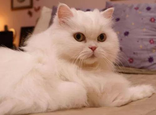افضل و اجمل انواع القطط بالصور طيور الزينة المصرية