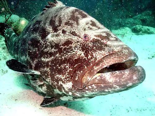 تكاثر سمك الهامور