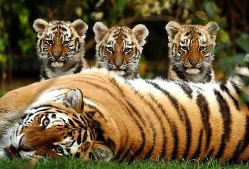 سلسلة الحيوانات المفترسة - معلومات عن النمر
