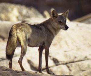معلومات عن الذئب العربي بالصور والفيديو