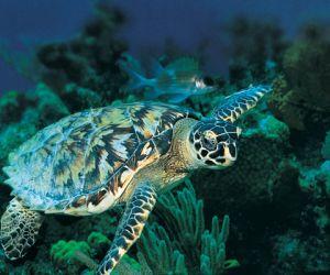 السلاحف حيوانات معمرة طويلة ، ويوجد منها العديد من الأنواع التي تختلف باختلاف بيئتها وموطنها وخصائص كل منها ، وأنواع السلاحف هي البرية والبحرية ...