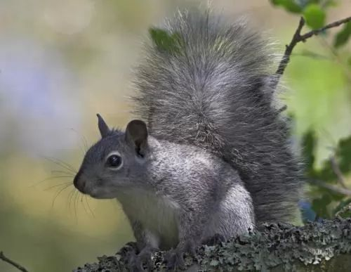 6556 3 or 1390073753 صور سناجب الصغيرة   Small pictures squirrels