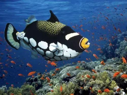 اجمل اسماك الزينة - سمك الدهام