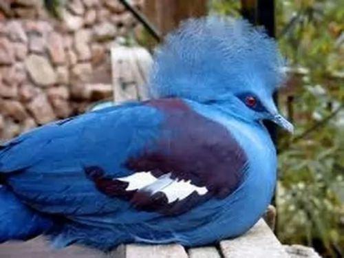 صور ومعلومات لاجمل الطيور فى العالم 133-1-or-1391368184