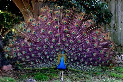 صور ومعلومات لاجمل الطيور فى العالم 133-6-or-1391368190